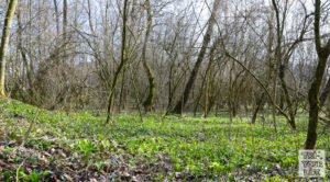 Bärlauchplatz im Wald