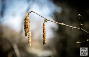 Pollen Hasel