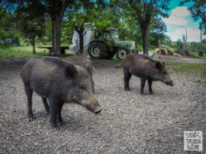Toskana Wildschweine